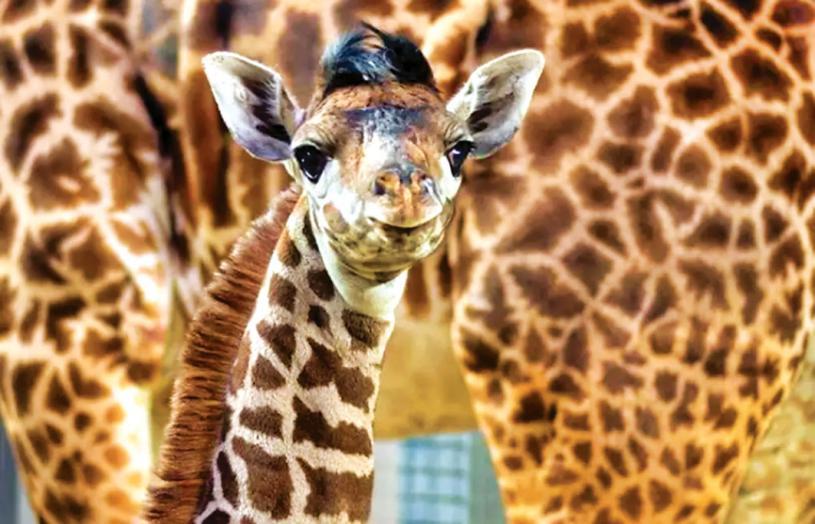 ■多倫多動物園推出防疫新規定,入園者須完全接種。多倫多動物園