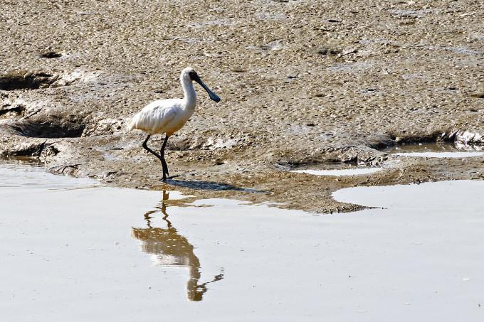 南生圍濕地有魚塘及河道,包括黑臉琵鷺亦在保育區覓食。